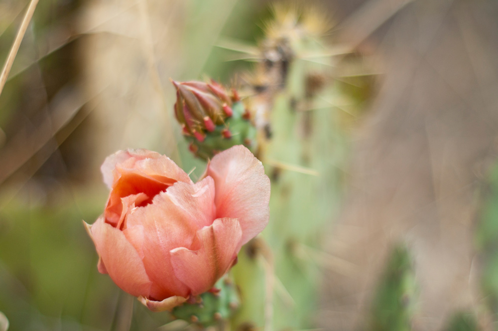 Prickly-Pear-Blossom-(2)